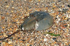 krabbahästsko Royaltyfri Bild