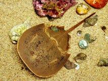 krabbahästsko Arkivfoto