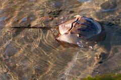 krabbahästskosimning royaltyfria bilder