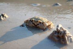 Krabban bäddas in in i sanden Royaltyfri Fotografi
