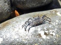 Krabban på vaggar i Dominica royaltyfria bilder