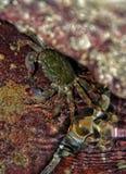 Krabban vaggar på Royaltyfri Fotografi