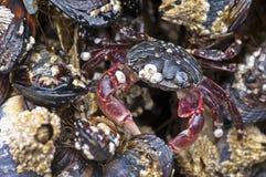 Krabban vaggar på Arkivfoton