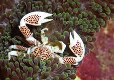 krabbaporslin Arkivfoto