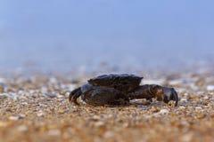 Krabbasammanträde på havskust Arkivfoto