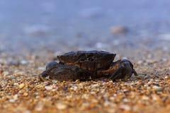 Krabbasammanträde på havskust Royaltyfri Fotografi