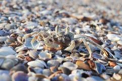 krabbaskal Arkivbild