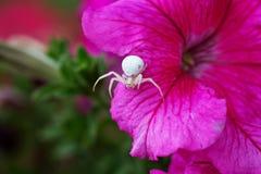 Krabbaspindel/blommaspindel SpindelMisumena vatia på en rosa flowe Arkivbild