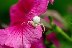 Krabbaspindel/blommaspindel SpindelMisumena vatia på en rosa flowe Arkivfoton