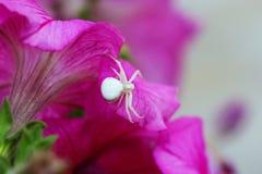 Krabbaspindel/blommaspindel SpindelMisumena vatia på en rosa flowe Royaltyfria Bilder