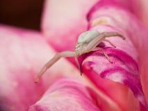 krabbaspindelwhite Royaltyfri Bild