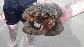 Krabbe Lizenzfreie Stockfotografie