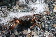 Krabbe Stockbilder