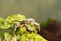 Krabbe Lizenzfreies Stockfoto