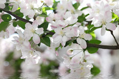 Krabbe-Apple-Blumen Stockfotografie