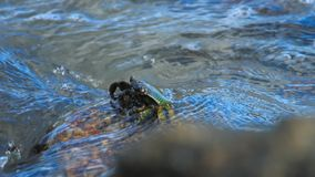 Krabbe auf dem Felsen am Strand stock video footage