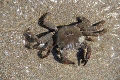 Krabbe auf dem Sand, Sommer 2014 Stockbild