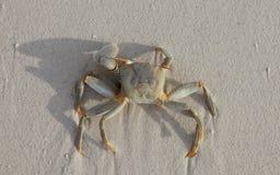 Krabbe auf Strand Lizenzfreie Stockfotografie