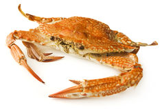 Krabbe auf weißem Hintergrund Stockfotografie