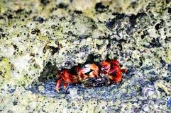Krabbe in den Felsen Lizenzfreies Stockbild