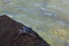 Krabbe, die auf einem Felsen stillsteht lizenzfreie stockfotografie