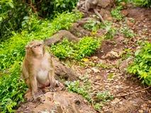 Krabbe, die den Makaken sitzt auf einem Felsen isst Stockbild