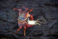 Krabbe, die eine andere Krabbe isst lizenzfreies stockfoto