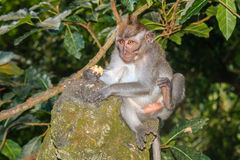 Krabbe, die Makaken auf einer Statue isst Lizenzfreies Stockbild