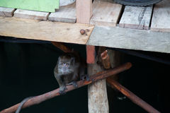 Krabbe, die Makakenaffen isst Stockbild