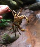 Krabbe eigenhändig holded Stockfotografie