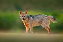 Krabbe-Essen des Fuchses, der Cerdocyon-Tausende, des Waldfuchses, des hölzernen Fuchses oder des Maikong Wilder Hund im Naturleb lizenzfreies stockfoto