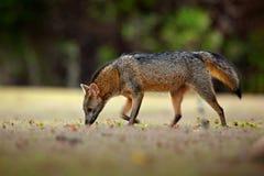 Krabbe-Essen des Fuchses, der Cerdocyon-Tausende, des Waldfuchses, des hölzernen Fuchses oder des Maikong Wilder Hund im Naturleb lizenzfreie stockfotos