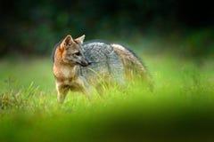 Krabbe-Essen des Fuchses, der Cerdocyon-Tausende, des Waldfuchses, des hölzernen Fuchses oder des Maikong Wilder Hund im Naturleb stockbilder