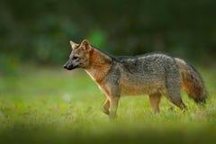 Krabbe-Essen des Fuchses, der Cerdocyon-Tausende, des Waldfuchses, des hölzernen Fuchses oder des Maikong Wilder Hund im Naturleb stockfotos