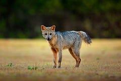 Krabbe-Essen des Fuchses, der Cerdocyon-Tausende, des Waldfuchses, des hölzernen Fuchses oder des Maikong Wilder Hund im Naturleb lizenzfreie stockfotografie