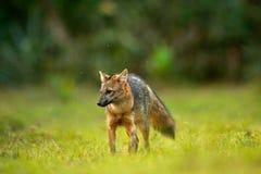 Krabbe-Essen des Fuchses, der Cerdocyon-Tausende, des Waldfuchses, des hölzernen Fuchses oder des Maikong Wilder Hund im Naturleb lizenzfreie stockbilder