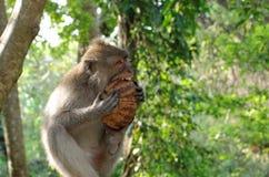 Krabbe-Essen des Makakens, der Kokosnuss isst Lizenzfreie Stockbilder