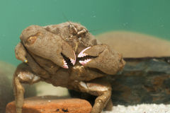 Krabbe im Aquarium-Behälter Stockbilder
