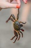 Krabbe ist in der Hand des Mädchens auf dem Strand Lizenzfreies Stockbild