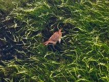 Krabbe lebendig im Wasser stockfotografie