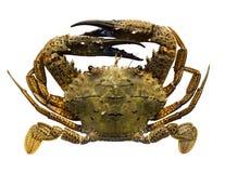 Krabbe lokalisiert Lizenzfreie Stockbilder