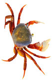 Regenbogen-Krabbe Lizenzfreies Stockfoto