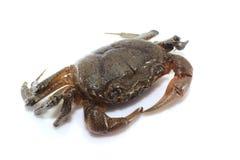 Krabbe lokalisiert auf weißem Hintergrund lizenzfreie stockbilder
