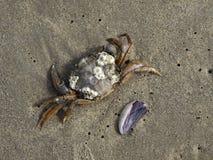Krabbe mit Seepocken und Regal auf dem Strand stockfotografie