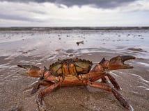 Krabbe am Strand Stockfotografie