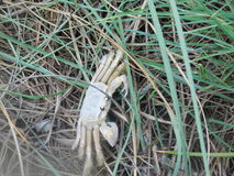 Krabbe am Strand stockbilder