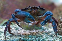 Krabbe Unterwasser Stockbilder