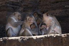 Krabbe, welche die Makaken pflegen ihre Junge isst Stockbild