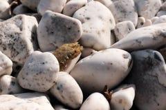 Krabben Stock Afbeelding