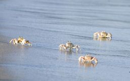 Krabben auf Tiwi-Strand Mombasa Kenia Stockbilder